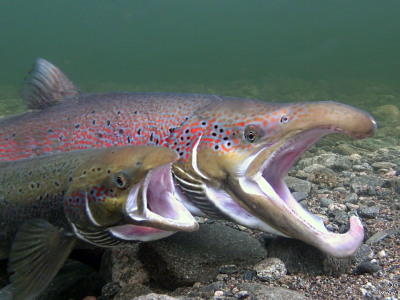 Salmon spawn in Lærdal River