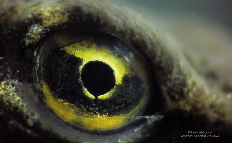 The eye of a salamander