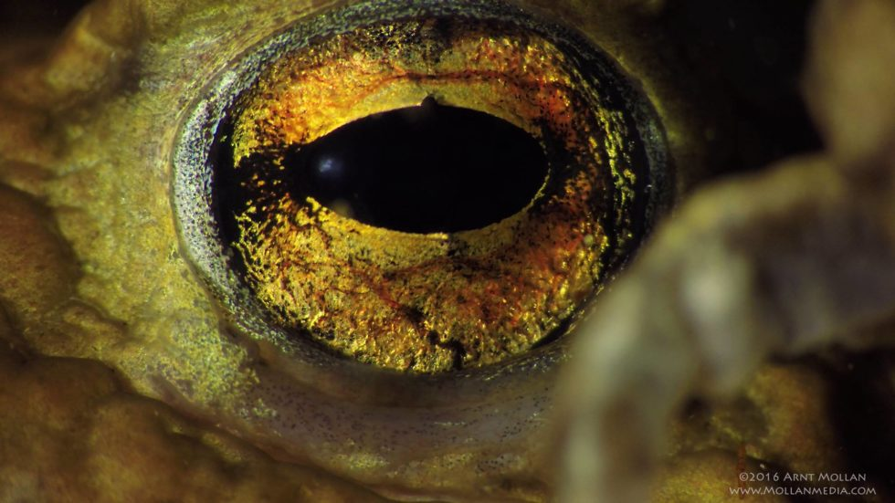 The eye of a toad