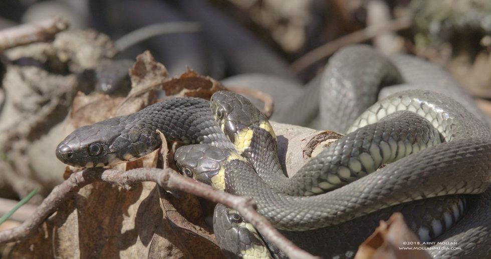 Natrix natrix snake